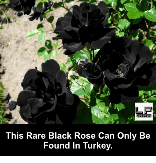 black rose: LIFE FACTS  This Rare Black Rose Can Only Be  Found in Turkey