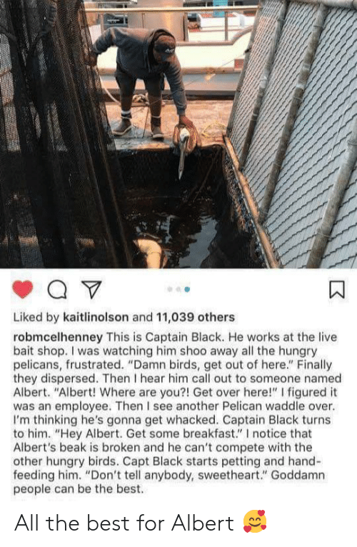 "get-out-of-here: Liked by kaitlinolson and 11,039 others  robmcelhenney This is Captain Black. He works at the live  bait shop. I was watching him shoo away all the hungry  pelicans, frustrated. ""Damn birds, get out of here."" Finally  they dispersed. Then I hear him call out to someone named  Albert. ""Albert! Where are you?! Get over here!"" I figured it  was an employee. Then I see another Pelican waddle over.  I'm thinking he's gonna get whacked. Captain Black turns  to him. ""Hey Albert. Get some breakfast."" I notice that  Albert's beak is broken and he can't compete with the  other hungry birds. Capt Black starts petting and hand-  feeding him. ""Don't tell anybody, sweetheart."" Goddamn  people can be the best. All the best for Albert 🥰"