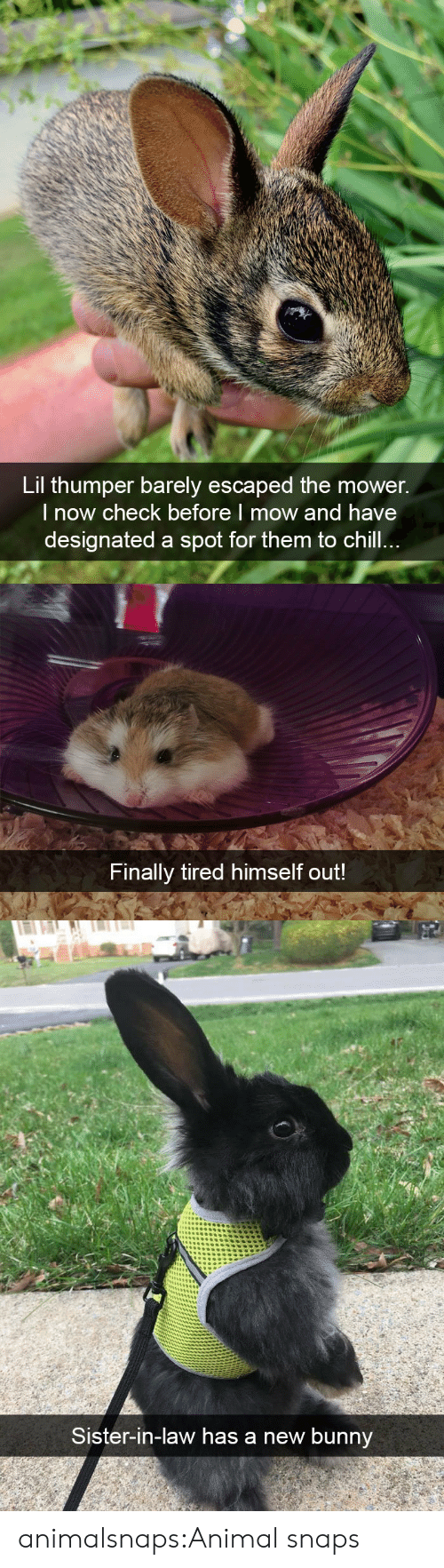 Chill, Target, and Tumblr: Lil thumper barely escaped the mower.  l now check before I mow and have  designated a spot for them to chill   Finally tired himself out!   Sister-in-law has a new bunnv animalsnaps:Animal snaps