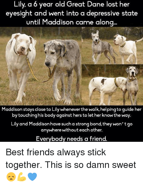 Friends Best Friend: Lily a 6 year old Great Dane lost her  eyesight and went into a depressive state  until Maddison came along  addison stays close to Lily Whenever the Wa  guide her  by touching his body against hers to let her know the way.  Lily and Maddison have such a strong bond, they won't go  anywhere without each other.  Everybody needs a friend. Best friends always stick together. This is so damn sweet 😞💪💙