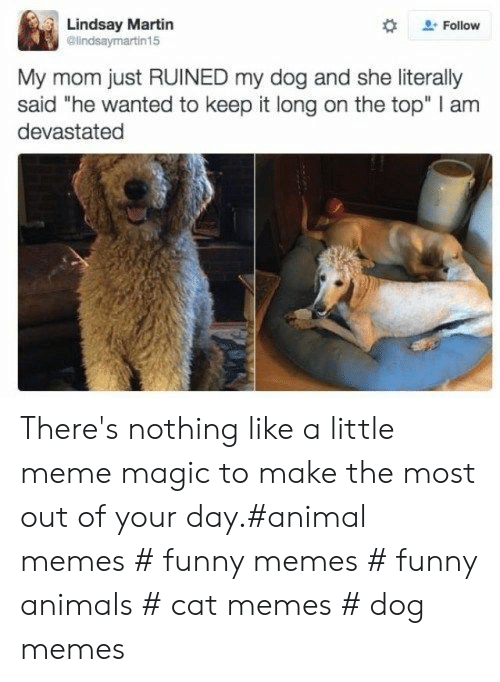 """Funny animals: Lindsay Martin  @lindsaymartin15  Follow  My mom just RUINED my dog and she literally  said """"he wanted to keep it long on the top"""" I am  devastated There's nothing like a little meme magic to make the most out of your day.#animal memes # funny memes # funny animals # cat memes # dog memes"""