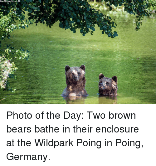 Memes, Bears, and Germany: Lino Mirgeler/dpa via AP Photo of the Day: Two brown bears bathe in their enclosure at the Wildpark Poing in Poing, Germany.