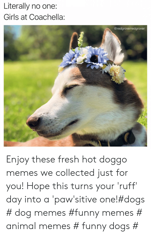collected: Literally no one:  Girls at Coachella:  @redgroverredgrover Enjoy these fresh hot doggo memes we collected just for you! Hope this turns your 'ruff' day into a 'paw'sitive one!#dogs # dog memes #funny memes # animal memes # funny dogs #