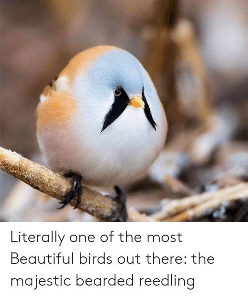 Beautiful, Birds, and One: Literally one of the most Beautiful birds out there: the majestic bearded reedling