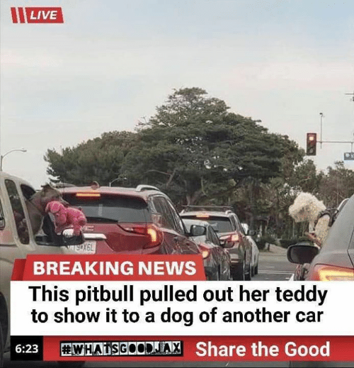 News, Pitbull, and Breaking News: LIVE  wsX6L  BREAKING NEWS  This pitbull pulled out her teddy  to show it to a dog of another car  WHATSGOODJIA, Share the Good  6:23