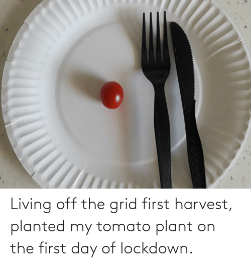 plant: Living off the grid first harvest, planted my tomato plant on the first day of lockdown.