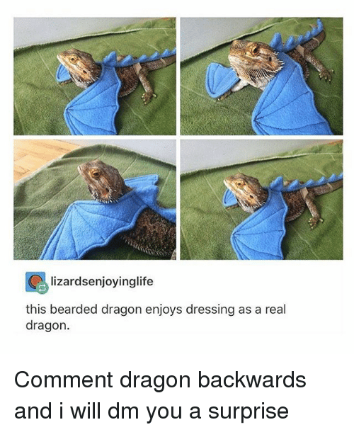 Bearded Dragon: lizardsenjoyinglife  this bearded dragon enjoys dressing as a real  dragon Comment dragon backwards and i will dm you a surprise