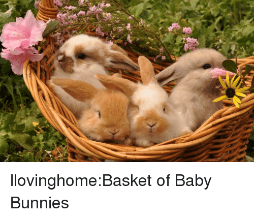 Bunnies, Tumblr, and Blog: llovinghome:Basket of Baby Bunnies