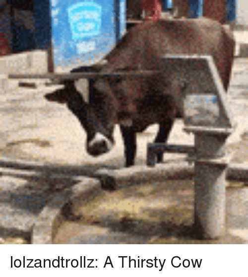 Thirsty, Tumblr, and Blog: lolzandtrollz:  A Thirsty Cow