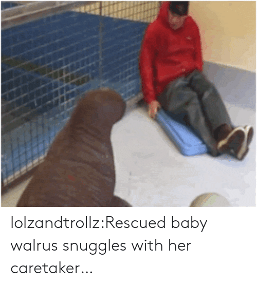 snuggles: lolzandtrollz:Rescued baby walrus snuggles with her caretaker…