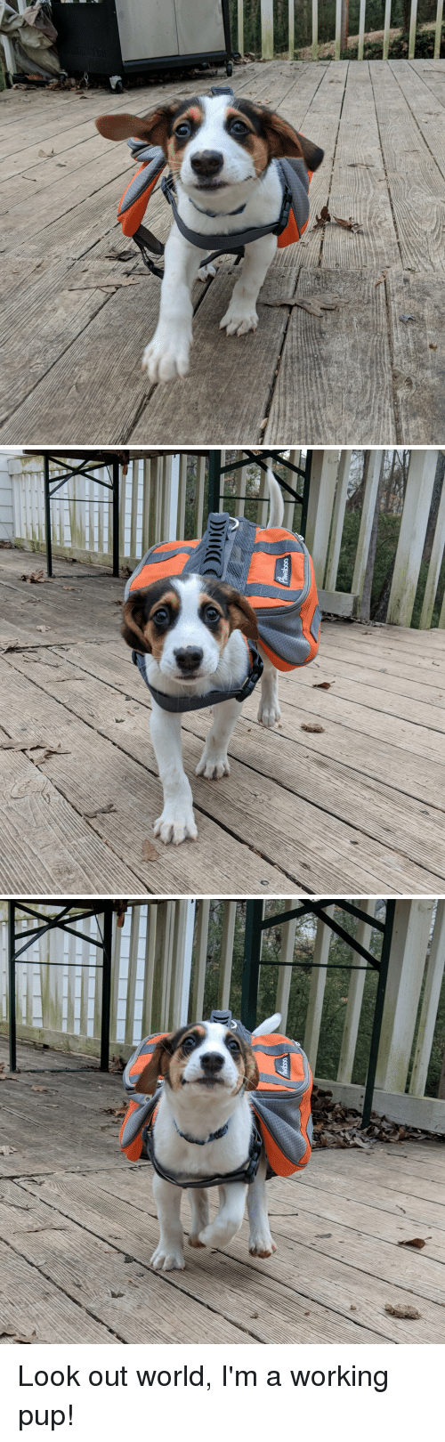 World, Pup, and Working: Look out world, I'm a working pup!