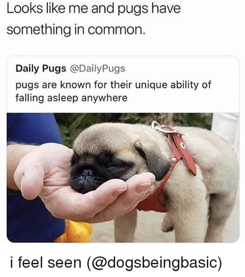 Memes, Common, and Pugs: Looks like me and pugs have  something in common.  Daily Pugs @DailyPugs  pugs are known for their unique ability of  falling asleep anywhere i feel seen (@dogsbeingbasic)