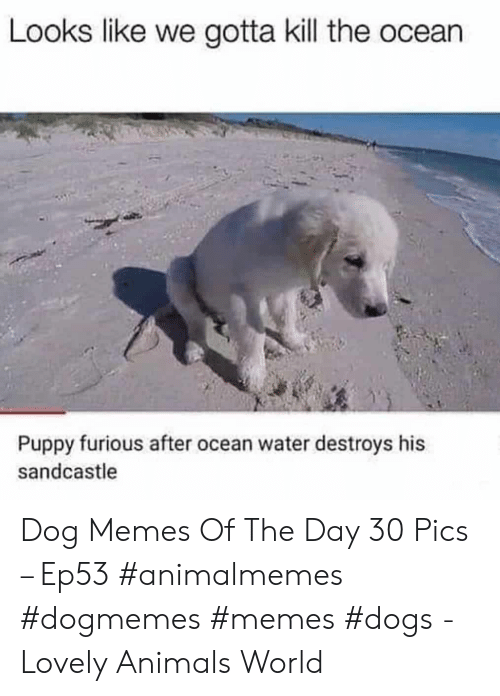 Sandcastle: Looks like we gotta kill the ocean  Puppy furious after ocean water destroys his  sandcastle Dog Memes Of The Day 30 Pics – Ep53 #animalmemes #dogmemes #memes #dogs - Lovely Animals World