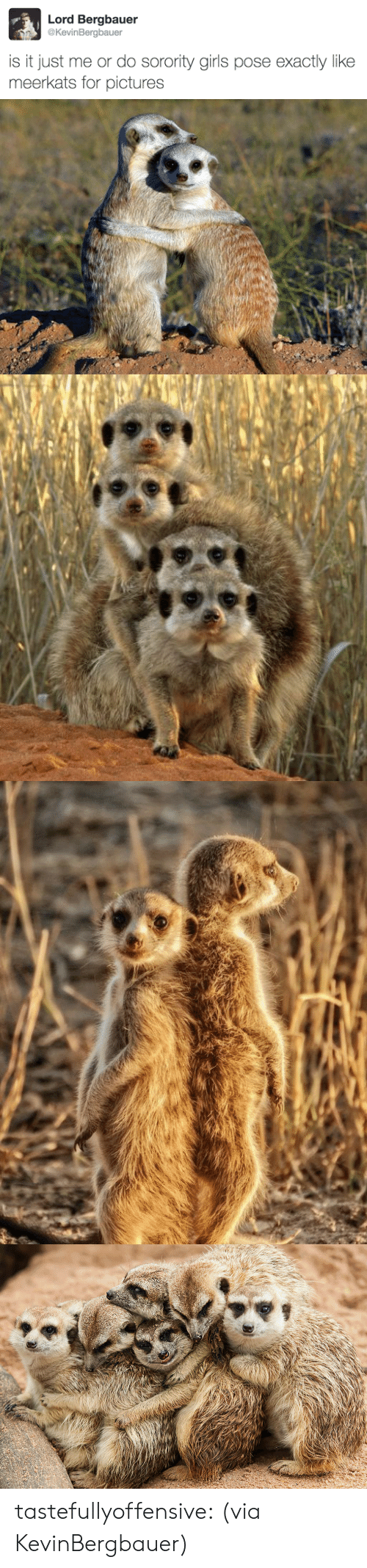 Is It Just Me Or: Lord Bergbauer  @KevinBergbauer  is it just me or do sorority girls pose exactly like  meerkats for pictures tastefullyoffensive:  (via KevinBergbauer)