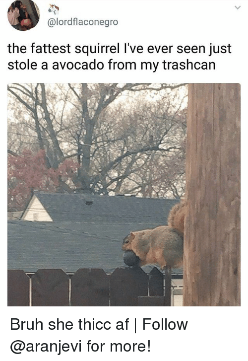 Thicc Af: @lordflaconegro  the fattest squirrel l've ever seen just  stole a avocado from my trashcan Bruh she thicc af | Follow @aranjevi for more!