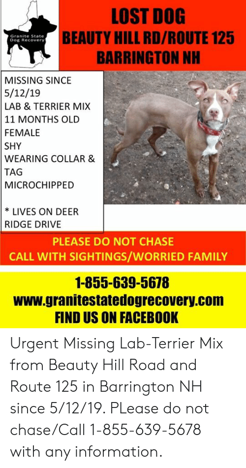 Deer, Facebook, and Family: LOST DOG  BEAUTY HILL RD/ROUTE 125  BARRINGTON NH  Granite State  Dog Recovery  MISSING SINCE  5/12/19  LAB & TERRIER MIX  11 MONTHS OLD  FEMALE  SHY  WEARING COLLAR &  TAG  MICROCHIPPED  * LIVES ON DEER  RIDGE DRIVE  PLEASE DO NOT CHASE  CALL WITH SIGHTINGS/WORRIED FAMILY  1-855-639-5678  www.granitestatedogrecovery.com  FIND US ON FACEBOOK Urgent Missing Lab-Terrier Mix from Beauty Hill Road and Route 125 in Barrington NH since 5/12/19.  PLease do not chase/Call 1-855-639-5678 with any information.