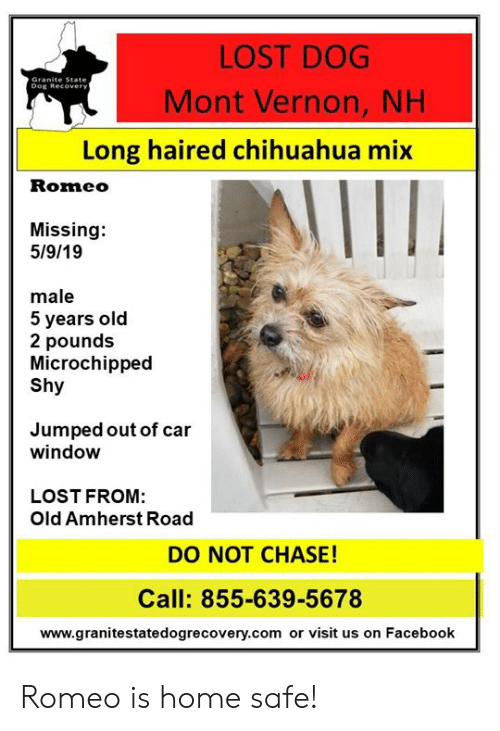 Chihuahua, Facebook, and Memes: LOST DOG  Mont Vernon, NH  Granite State  Dog Recover  Long haired chihuahua mix  Romeo  Missing:  5/9/19  male  5 years old  2 pounds  Microchipped  Shy  Jumped out of car  window  LOST FROM:  Old Amherst Road  DO NOT CHASE!  Call: 855-639-5678  www.granitestatedogrecovery.com or visit us on Facebook Romeo is home safe!