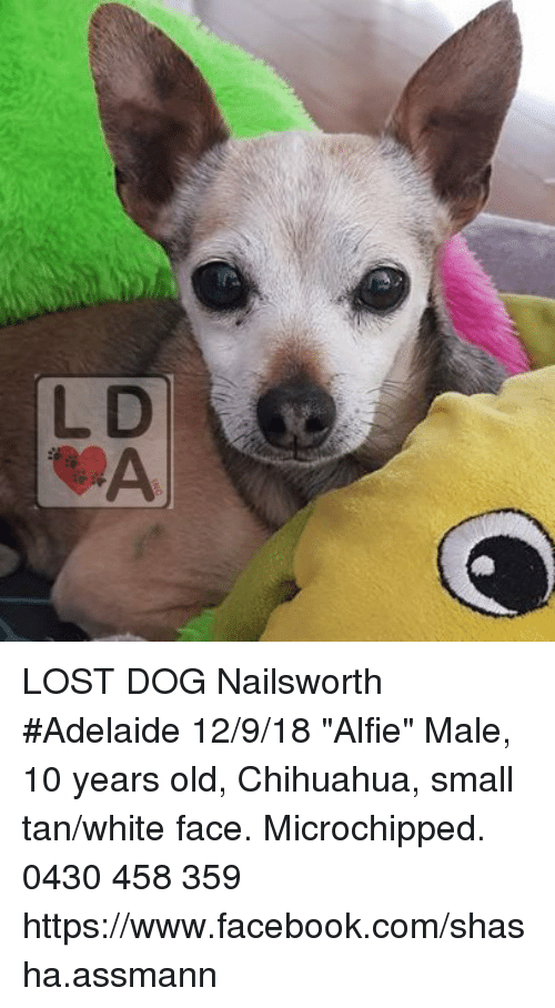 Chihuahua Facebook And Memes Lost Dog Nailsworth Adelaide 12 9