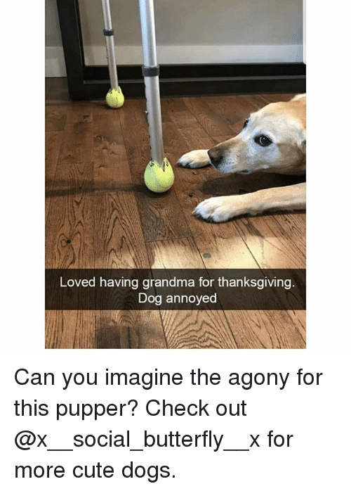 cute dogs: Loved having grandma for thanksgiving  Dog annoyed Can you imagine the agony for this pupper? Check out @x__social_butterfly__x for more cute dogs.