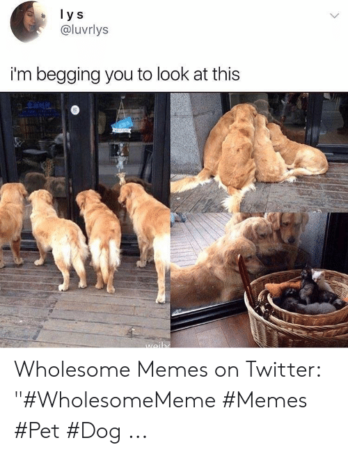 """Memes, Twitter, and Wholesome: @luvrlys  i'm begging you to look at this Wholesome Memes on Twitter: """"#WholesomeMeme #Memes #Pet #Dog ..."""