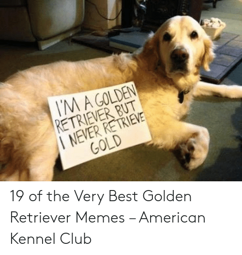 Club, Memes, and American: M A GOLDEN  RETRIEVER BUT  NEVER RETRIEVE  GOLD 19 of the Very Best Golden Retriever Memes – American Kennel Club