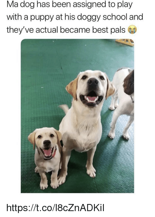 Memes, School, and Best: Ma dog has been assigned to play  with a puppy at his doggy school and  they've actual became best pals https://t.co/l8cZnADKiI