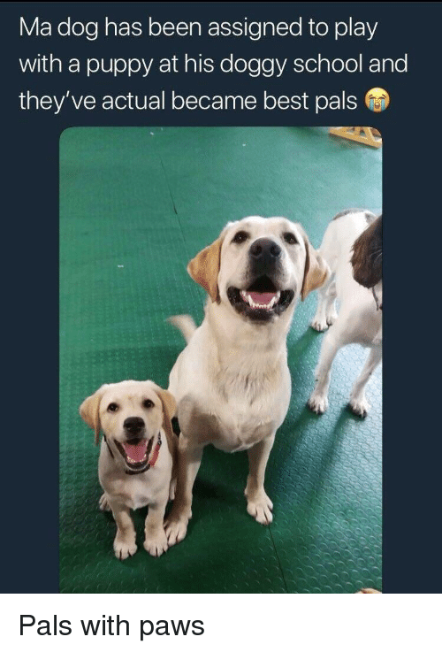 School, Best, and Puppy: Ma dog has been assigned to play  with a puppy at his doggy school and  they've actual became best pals