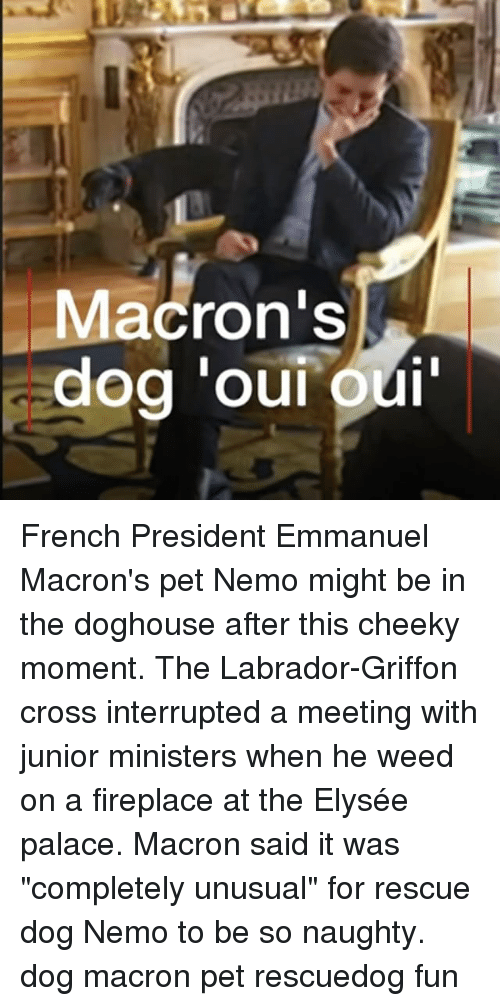 """griffon: Macron's French President Emmanuel Macron's pet Nemo might be in the doghouse after this cheeky moment. The Labrador-Griffon cross interrupted a meeting with junior ministers when he weed on a fireplace at the Elysée palace. Macron said it was """"completely unusual"""" for rescue dog Nemo to be so naughty. dog macron pet rescuedog fun"""