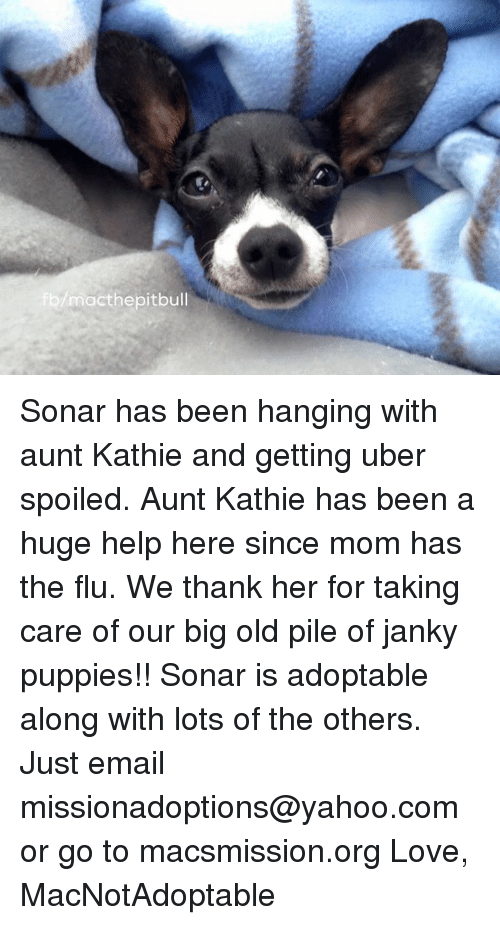 Memes, Moms, and Puppies: mact hepit bull Sonar has been hanging with aunt Kathie and getting uber spoiled. Aunt Kathie has been a huge help here since mom has the flu. We thank her for taking care of our big old pile of janky puppies!! Sonar is adoptable along with lots of the others. Just email missionadoptions@yahoo.com or go to macsmission.org   Love, MacNotAdoptable