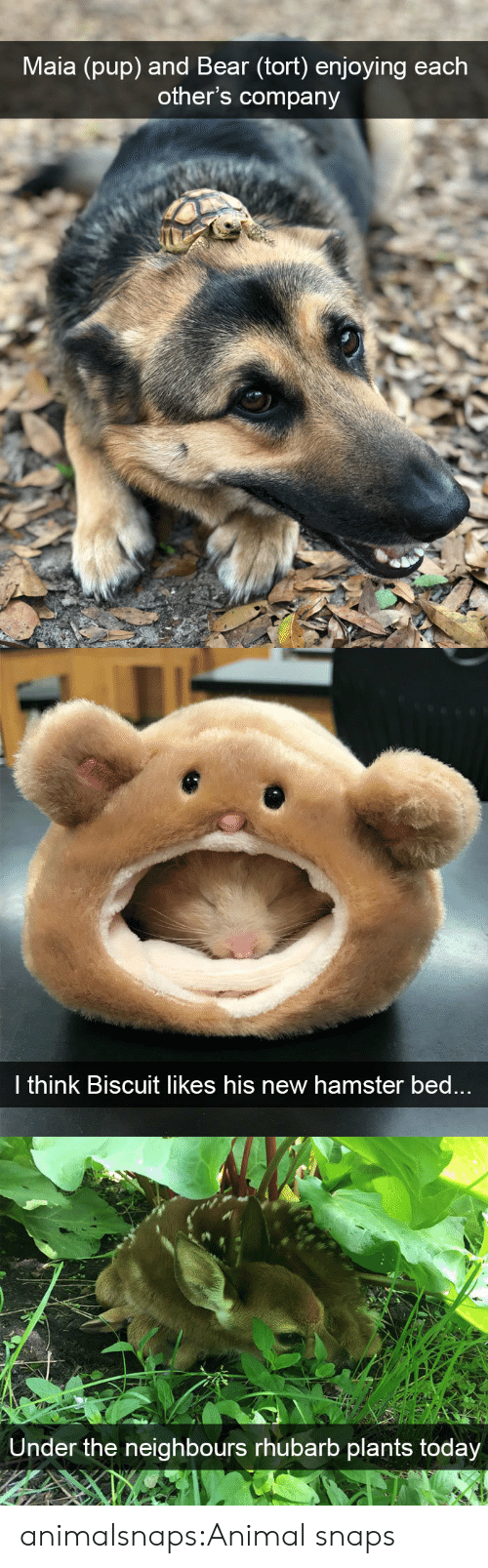 Target, Tumblr, and Animal: Maia (pup) and Bear (tort) enjoying each  other's company   l think Biscuit likes his new hamster bed   Under the neighbours rhubarb plants today animalsnaps:Animal snaps