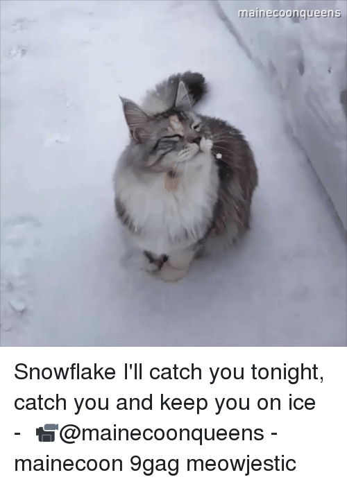 9gag, Memes, and 🤖: mainecoonqueens Snowflake I'll catch you tonight, catch you and keep you on ice⠀ -⠀ 📹@mainecoonqueens⠀ -⠀ mainecoon 9gag meowjestic