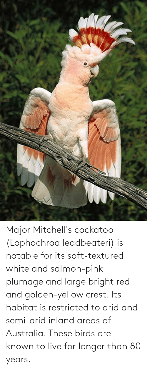 Aww Memes: Major Mitchell's cockatoo (Lophochroa leadbeateri) is notable for its soft-textured white and salmon-pink plumage and large bright red and golden-yellow crest. Its habitat is restricted to arid and semi-arid inland areas of Australia. These birds are known to live for longer than 80 years.