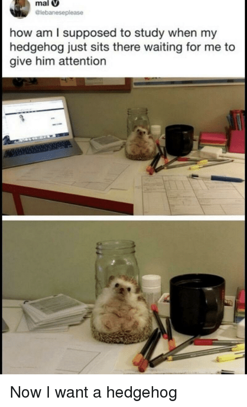 Hedgehog, Waiting..., and How: mal  lebaneseplease  how am l supposed to study when my  hedgehog just sits there waiting for me to  give him attention Now I want a hedgehog