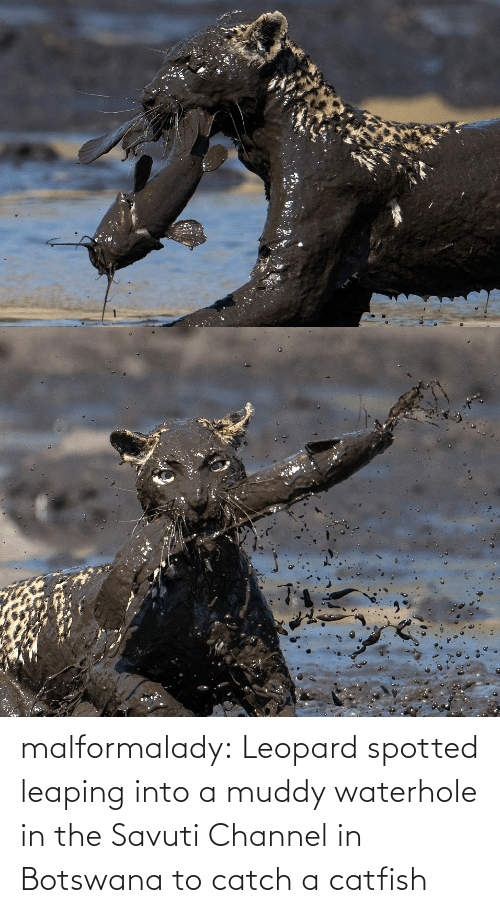 Muddy: malformalady:  Leopard spotted leaping into a muddy waterhole in the Savuti Channel in Botswana to catch a catfish