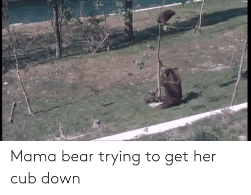 cub: Mama bear trying to get her cub down