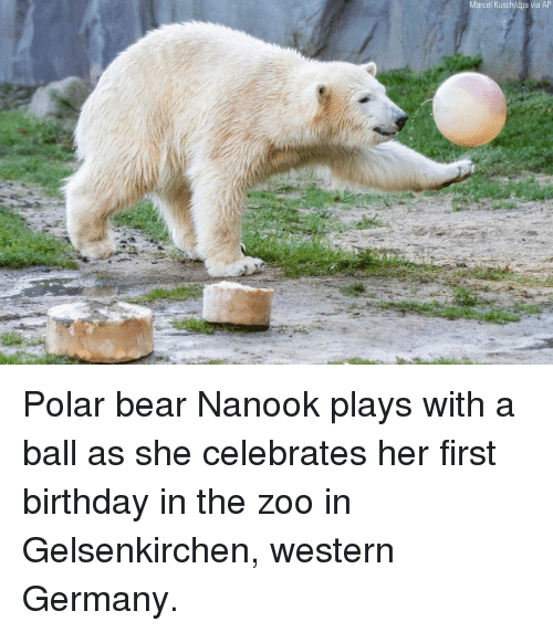 Birthday, Memes, and Bear: Marcel Kusch/dpa via AP Polar bear Nanook plays with a ball as she celebrates her first birthday in the zoo in Gelsenkirchen, western Germany.