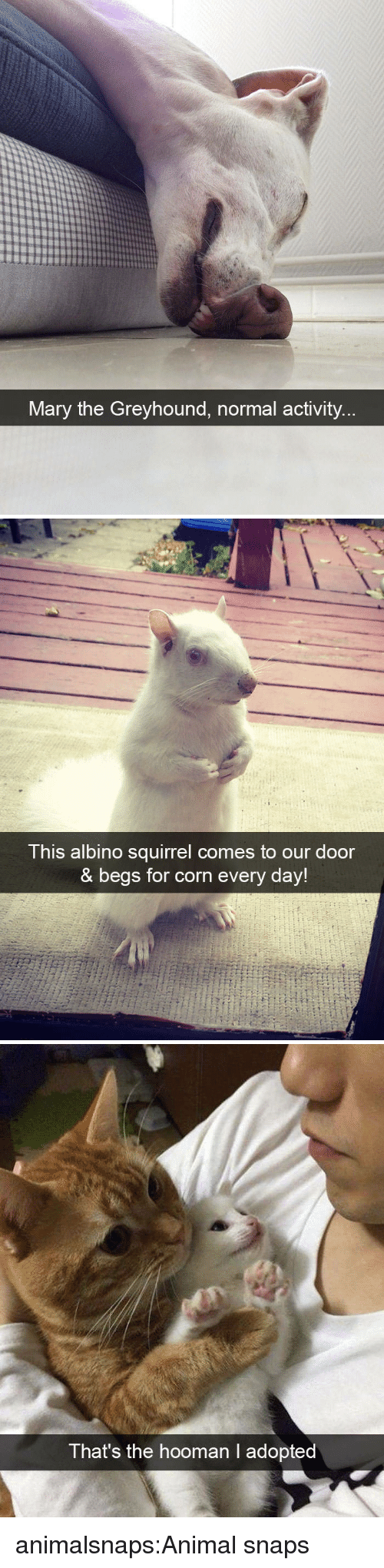 Target, Tumblr, and Animal: Mary the Greyhound, normal activity   This albino squirrel comes to our door  & begs for corn every day!   That's the hooman l adopted animalsnaps:Animal snaps