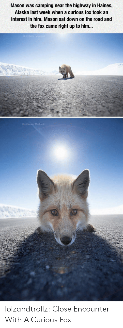 Tumblr, Alaska, and Blog: Mason was camping near the highway in Haines,  Alaska last week when a curious fox took an  interest in him. Mason sat down on the road and  the fox came right up to him... lolzandtrollz:  Close Encounter With A Curious Fox