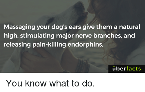 massaging: Massaging your dog's ears give them a natural  high, stimulating major nerve branches, and  releasing pain-killing endorphins.  uber  facts You know what to do.