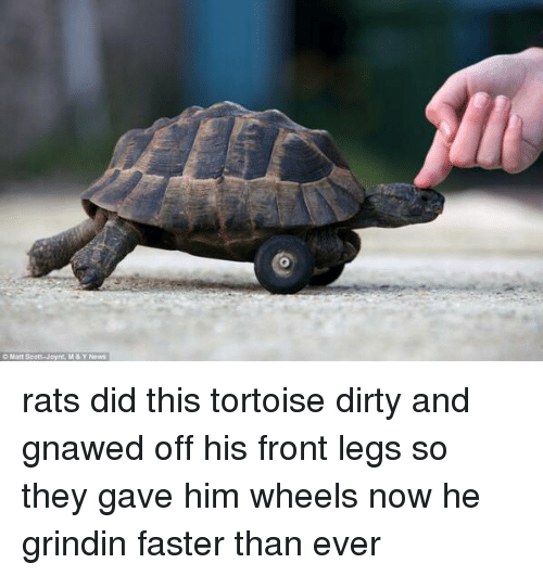 gnaw: Matt Scott-Joynt, Ma Y News rats did this tortoise dirty and gnawed off his front legs so they gave him wheels now he grindin faster than ever