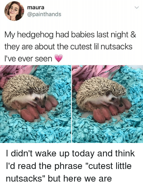 """Hedgehoging: maura  @painthands  My hedgehog had babies last night &  they are about the cutest lil nutsacks  I've ever seen I didn't wake up today and think I'd read the phrase """"cutest little nutsacks"""" but here we are"""