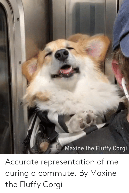 fluffy: Maxine the Fluffy Corgi Accurate representation of me during a commute.  By Maxine the Fluffy Corgi