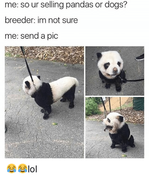 Dogs, Memes, and 🤖: me: so ur selling pandas or dogs?  breeder: im not sure  me: send a pic 😂😂lol
