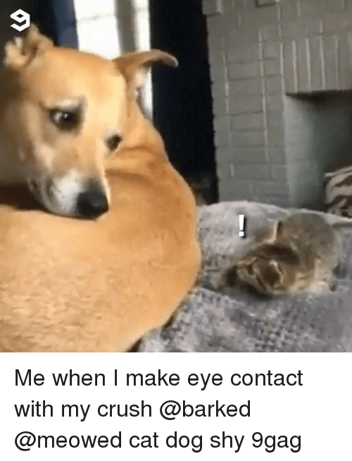 9gag, Crush, and Memes: Me when I make eye contact with my crush @barked @meowed cat dog shy 9gag