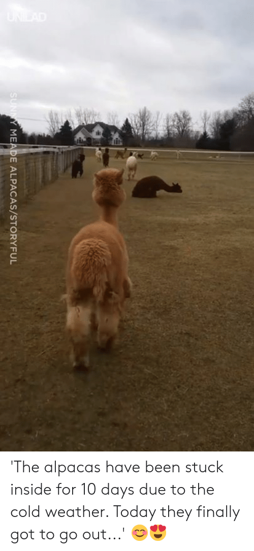 Dank, Today, and Weather: MEADE ALPACAS/STORYFUL 'The alpacas have been stuck inside for 10 days due to the cold weather. Today they finally got to go out...' 😊😍