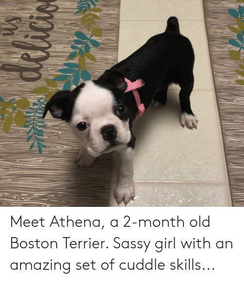 Athena, Boston, and Boston Terrier: Meet Athena, a 2-month old Boston Terrier. Sassy girl with an amazing set of cuddle skills...