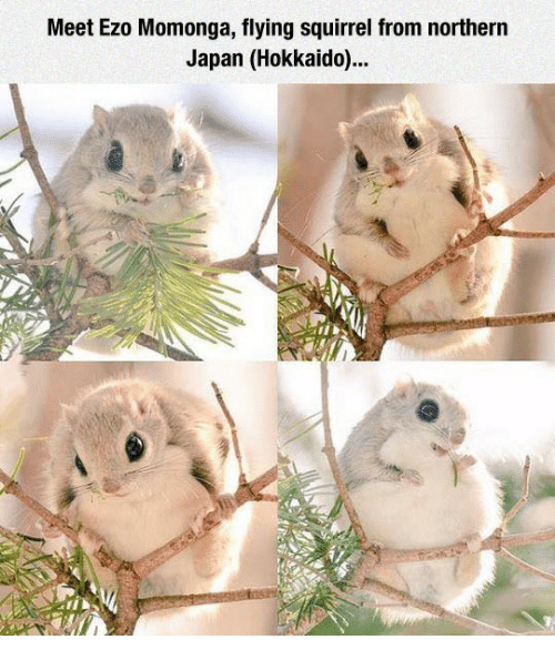 Japan, Squirrel, and Hokkaido: Meet Ezo Momonga, flying squirrel from northern  Japan (Hokkaido)...