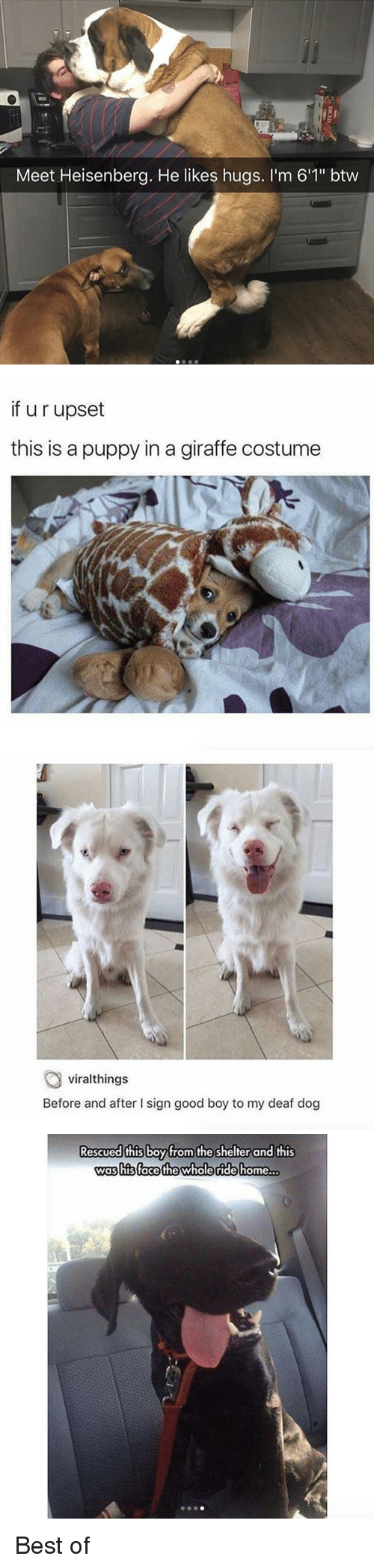 """Best, Giraffe, and Good: Meet Heisenberg. He likes hugs. I'm 6'1"""" btw   if u r upset  this is a puppy in a giraffe costume   viralthings  Before and after I sign good boy to my deaf dog   Rescued this boyfrom the shelter and this  was his (face the whole ride home  .. <p>Best of</p>"""