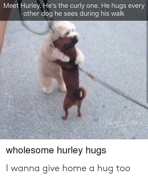 Home, Wholesome, and Dog: Meet Hurley. He's the curly one. He hugs every  other dog he sees during his walk  wholesome hurley hugs I wanna give home a hug too