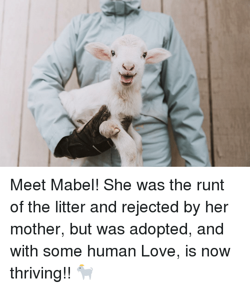 Love, Her, and Human: Meet Mabel! She was the runt of the litter and rejected by her mother, but was adopted, and with some human Love, is now thriving!! 🐐